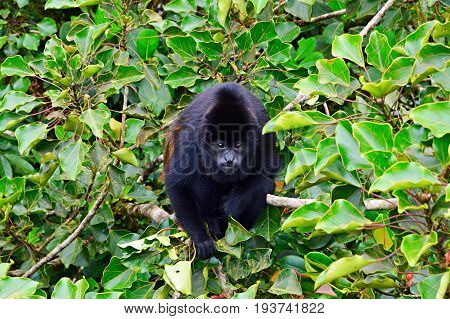 Portrait of a mantled howler monkey sitting on a tree