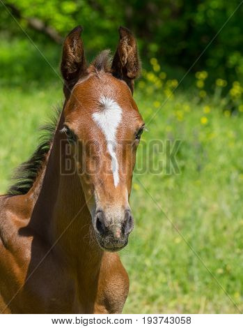 Portrait of young foal on a summer pasture