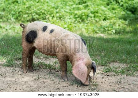 Little pig digging digging a hole on the farm
