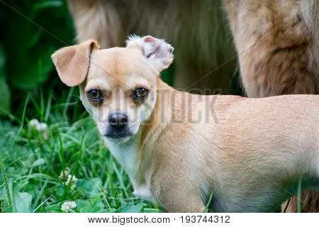 Small dog in the grass looking at the camera.