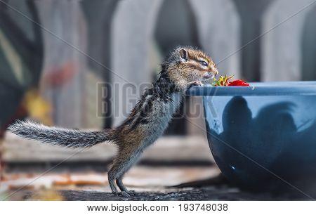 Eastern Chipmunk find a strawberry on a blue bowl