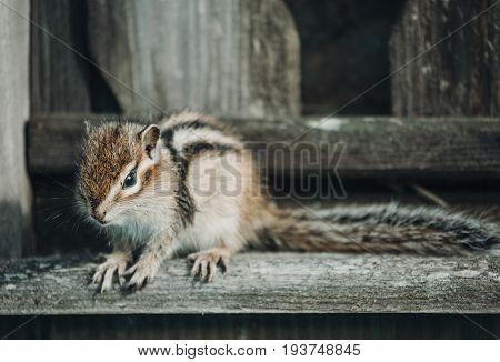 Eastern Chipmunk sitting on a wooden fence