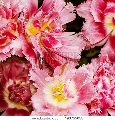 pink tulips in the detail - close up