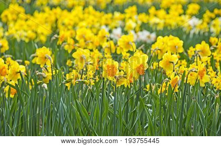 daffodils in the garden - close up