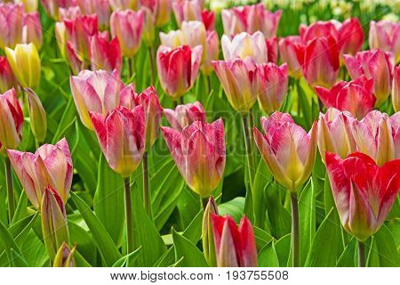 pink tulips and red in the spring garden