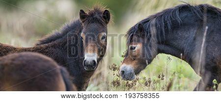 exmoor ponies Milovice - Crech republic, Europe