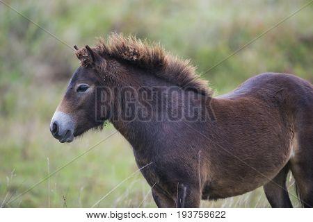 an exmoor pony Milovice - Crech republic