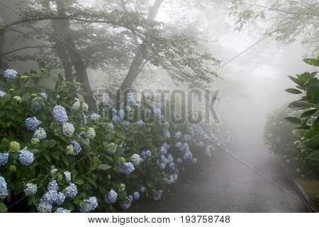 foggy road with hydrangea flowers and tree background