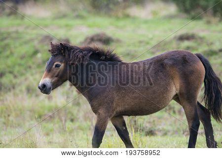 exmoor pony in Reserve Milovice - Crech republic