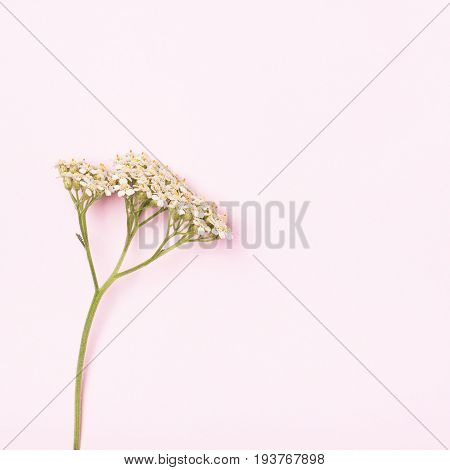 White inflorescence of yarrow on a gentle pink background. The concept of femininity fragility subtlety. Place for text