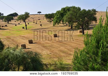 Stunning landscape with a harvested wheat field and rolled straw stacks between cork oak trees at sunset. Evora Alentejo Portugal