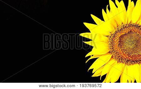 Sunflower isolated on black background, with clipping path.