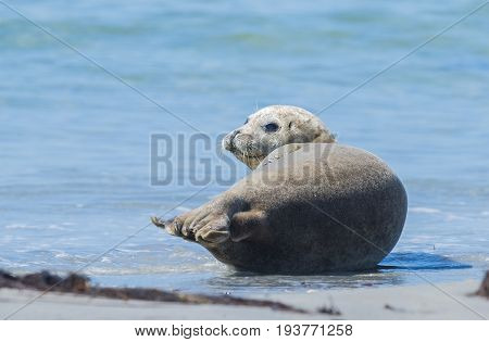 seals on a beach - Helgoland island in Germany