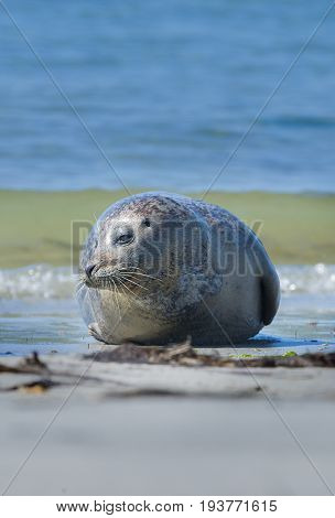 seal on a beach - Helgoland Germany