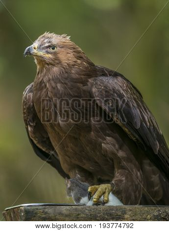 Aquila clanga - an eagel close up