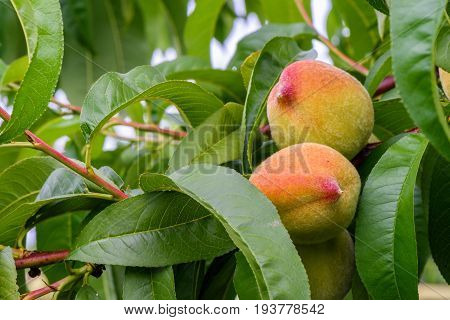 Fresh peaches on tree brunch. Closeup with green leaves