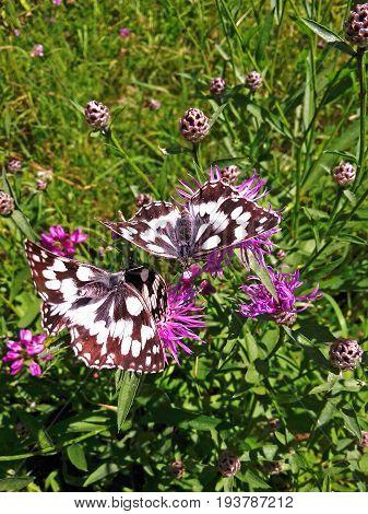 marbled white butterflies on purple knapweed flowers