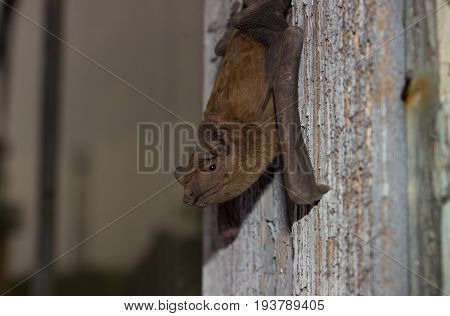 Bat animal hanging on a wooden board, side view