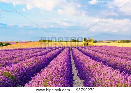 Beautiful blooming purple lavender fields near Valensole in Provence, France.