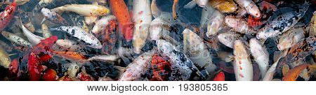 koi carps in the detail close up