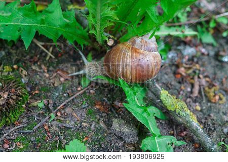 Grape snail for a walk in the forest.