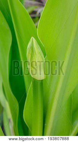 Crinum Asiaticum Plants With Flower