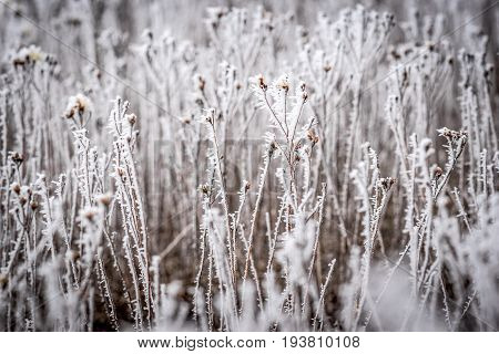 The coated needles icy grass with a blurred background