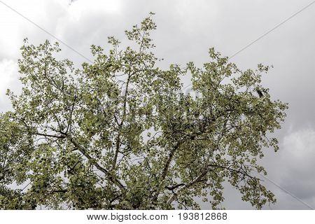 Tree lush silver green foliage on dark grey cloudy sky background