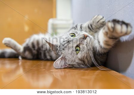 american shorthair rolled around on the table / american shorthair sleep on table