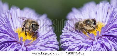 bees (apis mellifera) on a flower macro