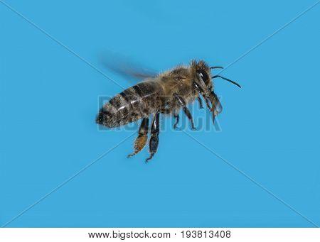 a bee (apis mellifera) flying macro photo