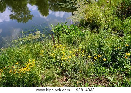 Black-eyed susan flowers (Rudbeckia hirta) and pickerel weed (Pontederia cordata) bloom by a small lake in Joliet, Illinois during July.
