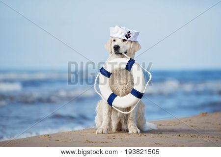 golden retriever dog holding a life buoy on a beach