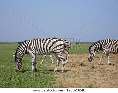 The zebra pasturing in the grass in the national park Askania-Nova.