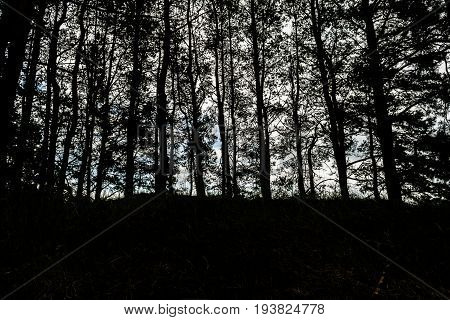Silhouettes Of Pine Trees Against A Foggy Sky