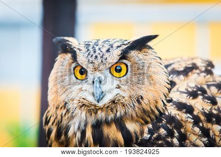 Portrait of an Eurasian Eagle Owl or Bubo Bubo Hispanus.