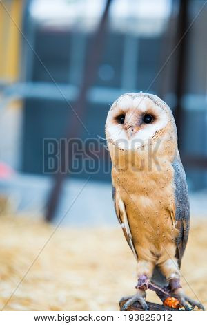 portrait of common barn owl ( Tyto albahead ) . Copy space for text
