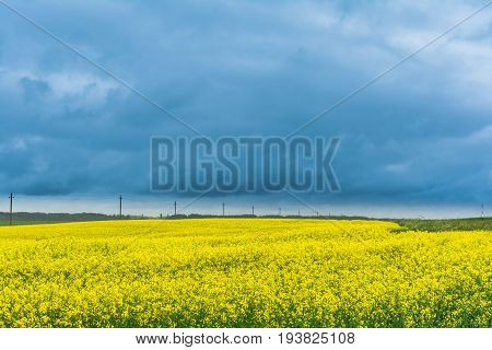 Field Of Rapeseed, Canola Or Colza In Belarus With Overcast Sky