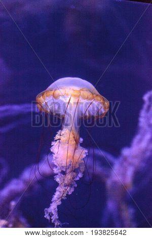Pacific Sea Nettle Called Chrysaora Fuscenscens