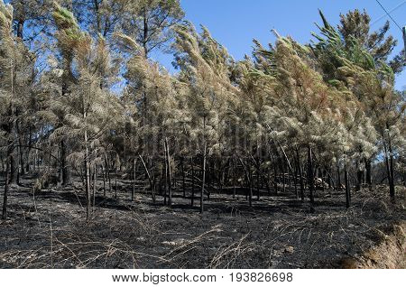 Young Pine Trees Burnt And Bend By A Firestorm - Pedrogao Grande