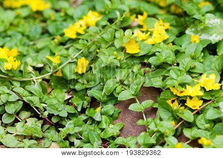 Moneywort Lysimachia nummularia Goldilocks plants and yellow flowers lie on sundstone in the garden