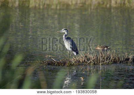 Grey Heron - Ardea cinerea Alert on Reed Island