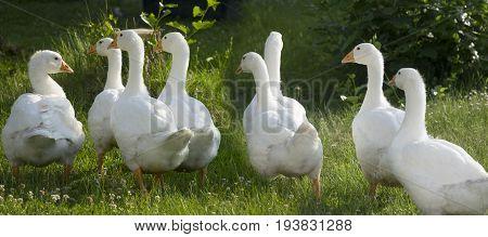 white goose in the garden ( Anser anser domesticus )