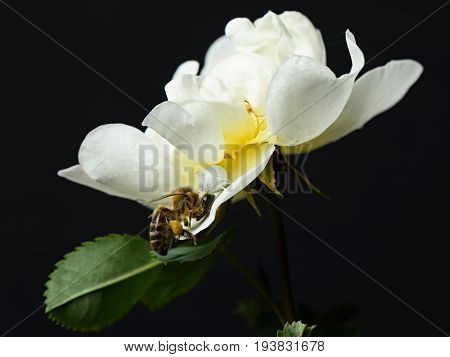 Spider white black widow eats the bee on the flower white rose