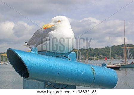 seagull sitting on a telescope in Falmouth