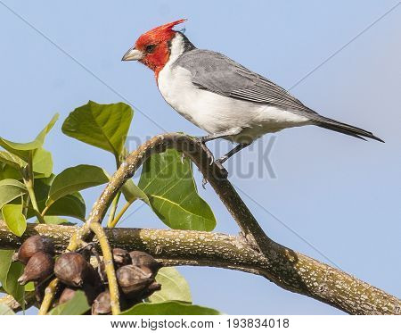 Beautiful Red Crested Cardinal Perched On Tree Branch