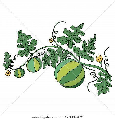 Cartoon watermelon in foliage and flowers isolated on white background.Vector hand drawn illustration striped watermelons coloring page for adult and childrenart book textile print poster design