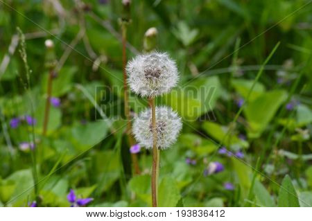 White dandelions growing in the grass during summer