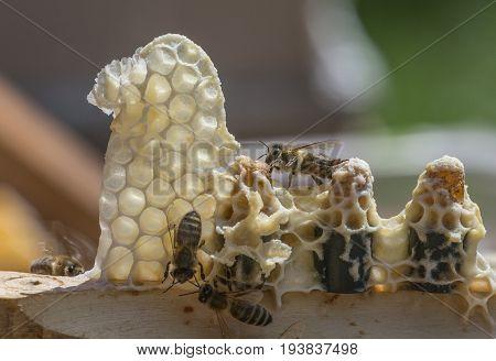 bee queen combs - Apis melliferaartificial breeding