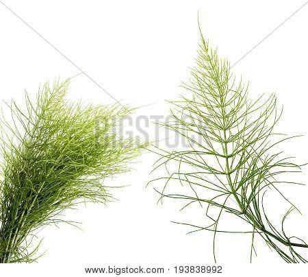 Equisetum arvense - a Horsetail herb isolated